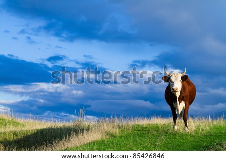 A cow grazing in a meadow in autumn against blue sky. - stock photo