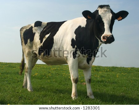A cow in a pasture - stock photo