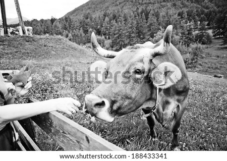 A cow in the alps eating grass from human hand , Germany - Europe