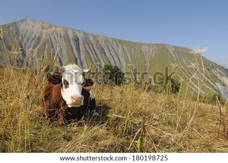 a cow in the Arves mountain ( France ) - stock photo