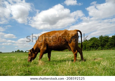 A cow is standing on a green field eating grass. Blue and cloudy sky in the background. - stock photo