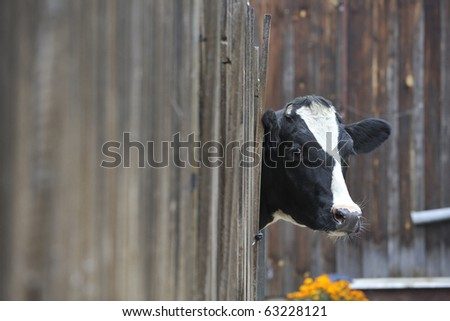 A Cow looking through a fence - stock photo