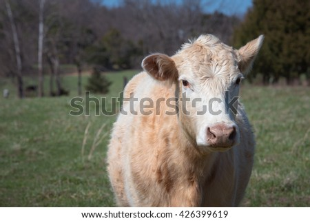 A Cow looks at camera with one ear turned back