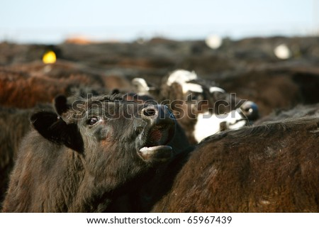 A cow moos in a large herd of beef cattle. - stock photo