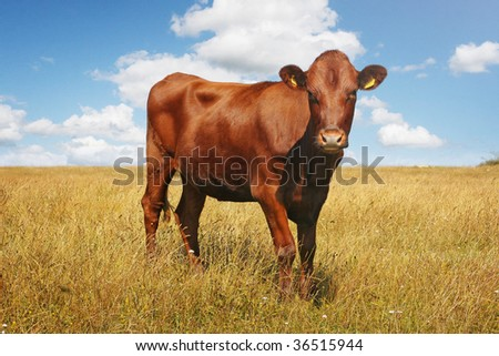 A cow on a field in Sweden - stock photo