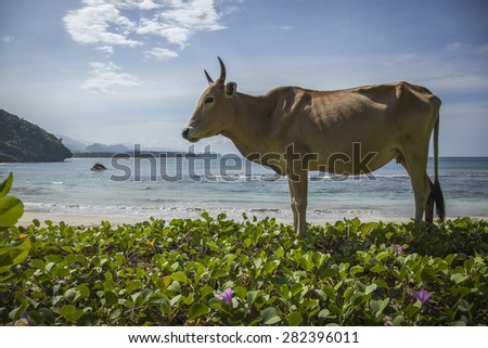 A cow on An empty Indian Ocean beach, Aceh, Indonesia - stock photo