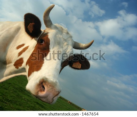 A cow's head. - stock photo