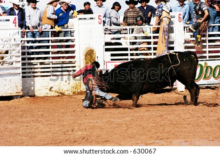 Cowboy Attacked By Brahma Bull Bull Stock Photo Royalty Free
