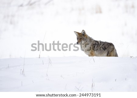 A coyote in the snow at Yellowstone National Park. - stock photo