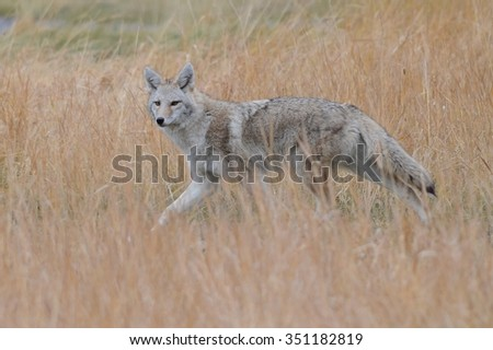 A coyote shows off her natural camouflage near Banff, Alberta - stock photo