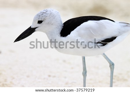 A Crab Plover (Dromas ardeola) on the beach at Rihiveli, Maldives - stock photo
