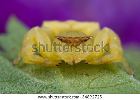 A crab spider on green leaf - stock photo