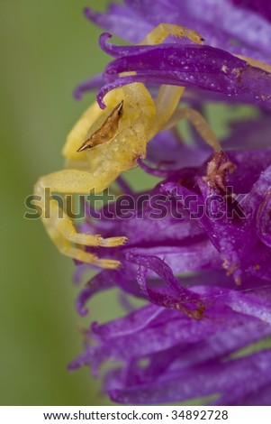 A crab spider on purple wildflower - stock photo