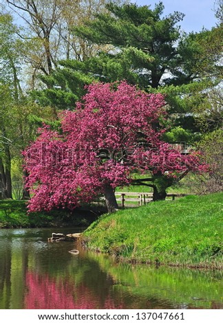 A Crabapple tree in full blossom being reflected in a pond in a park- like setting.