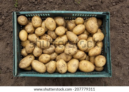 a crate of freshly harvested potatoes on bare soil background - stock photo