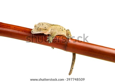 A crested gecko holding onto a bamboo pole, isolated on a white background - stock photo