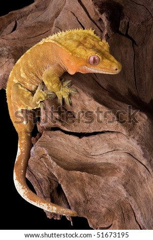 A crested gecko is climbing on some petrified wood. - stock photo