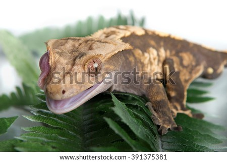 A Crested  gecko licking his eye to keep it clean - stock photo