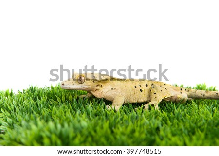 A crested gecko standing on some fake grass, isolated on a white background