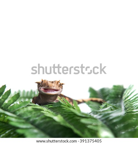 A Crested  gecko with his mouth open, isolated against a white background, with copyspace for text - stock photo