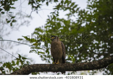 A Crested Serpent Eagle sitting on a tree branch.Image captured in Tamil Nadu in India Scientific Name:Spilornis cheela