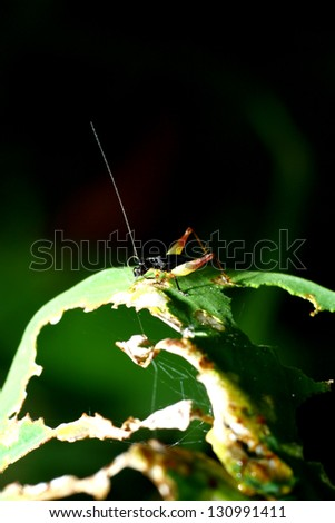 A Cricket on leaf in nature