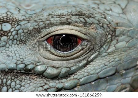 A critically endangered Grand Cayman Iguana (Cyclura lewisi) - stock photo