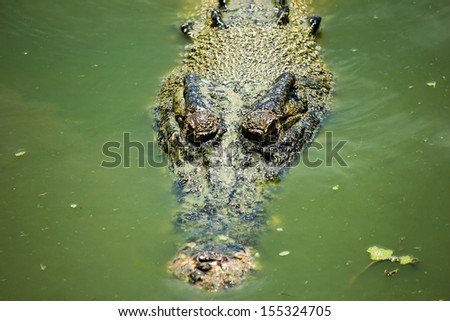 A crocodile hiding in green swampy water - stock photo