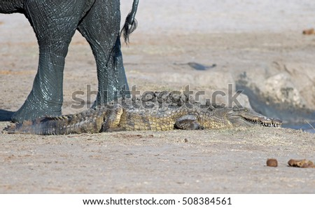 A crocodile resting on the shoreline with elephant legs close by