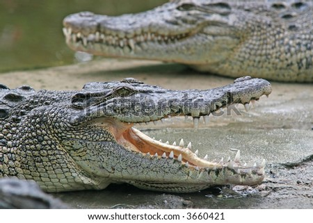 A crocodile waits with its jaws wide open - stock photo