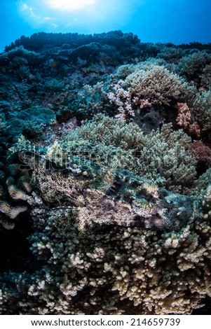 A crocodilefish (Cymbacephalus beauforti) blends into a coral reef slope in the tropical western Pacific. This ambush predator is highly camouflaged and found only in the Indo-Pacific region. - stock photo
