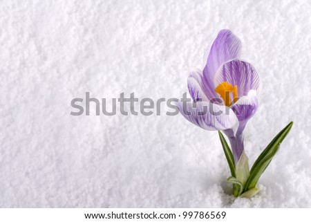 A crocus flower in the snow