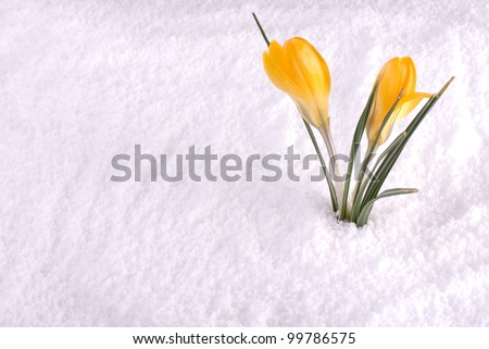 A crocus flower in the snow - stock photo