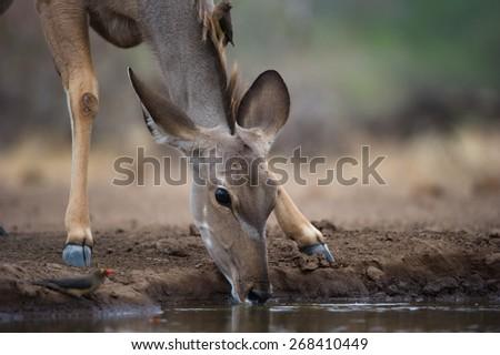 A cropped, horizontal photo of a kudu cow drinking at a waterhole. - stock photo