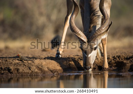A cropped, low angle colour photo of a kudu bull drinking at a waterhole - stock photo