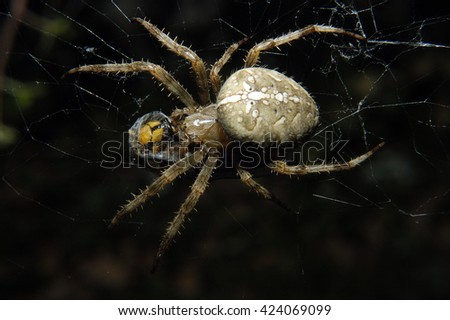 a cross spider is wrapping a hornet, that get caught in its web, with silk we still can see the hornet through the silk - stock photo