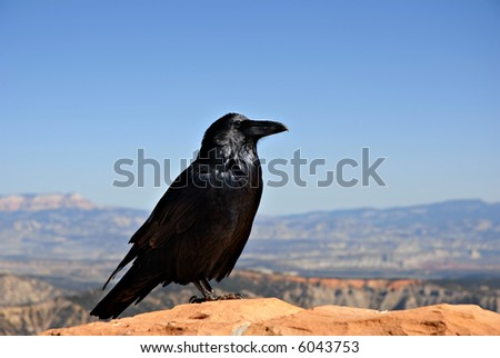A crow sitting on a rock wall hoping for a handout at Capitol Reef National Park, Utah. - stock photo