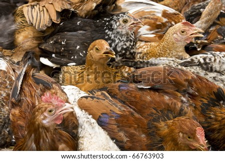 A crowing rooster packed with many others - stock photo