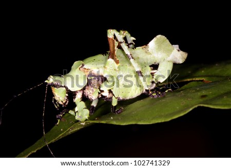 A cryptic katydid from Ecuador patterned to resemble lichen. - stock photo
