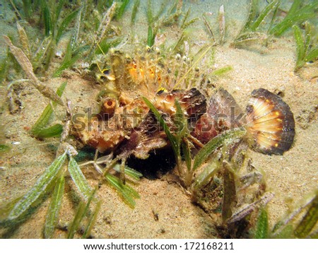 A cryptic Red Sea Walkman extends colorful fins in seagrass - stock photo