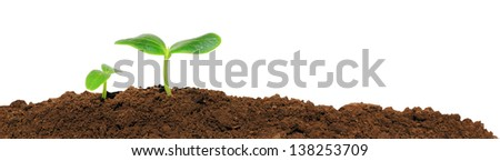 A cucumber seedling in the ground, isolated - stock photo