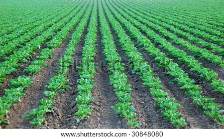 A cultivated field with rows of collard green disappearing in the distance, near Pescadero, California