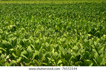 a culture of tobacco - stock photo