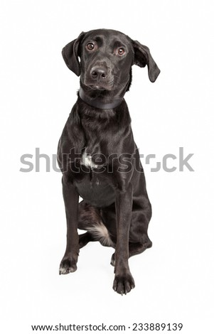 A curious Australian Shepherd and Labrador Retriever Mix Breed Dog sitting while waiting for direction from the handler.   - stock photo