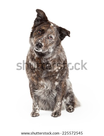 A curious Australian Shepherd Mix Breed Dog sitting looking to the side of the camera. - stock photo