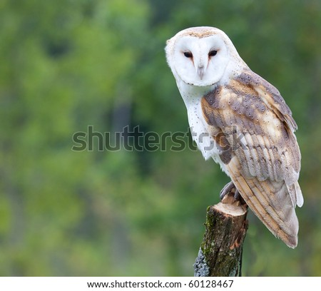A curious barn owl. - stock photo