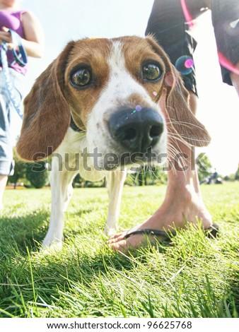 a curious beagle - stock photo