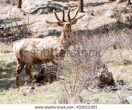 A curious bull elk looks over the top of a shrub to see photographer - stock photo