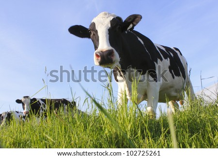 A curious dairy cow stands in her pasture/Dairy Cow/A curious dairy cow - stock photo