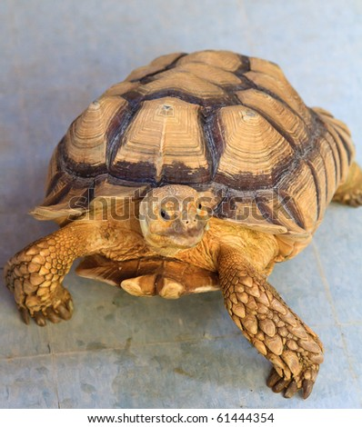 A curious, gold colored tortoise steps up for a closer look. - stock photo